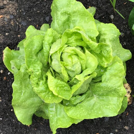Container_Plants_Butter_Lettuce
