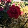 Container_Plants_Rose