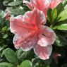 Container_Plants_Autumn_Chiffon_Azalea